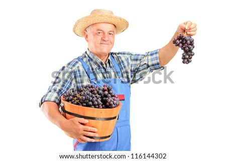 A vintner holding a basket full of blue wine grapes isolated on white background - stock photo