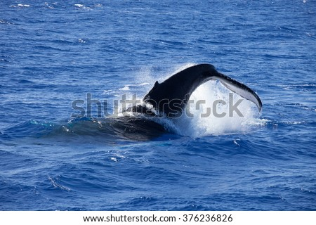 A violent tail throw from a massive Humpback whale, Maui, Hawaii - stock photo