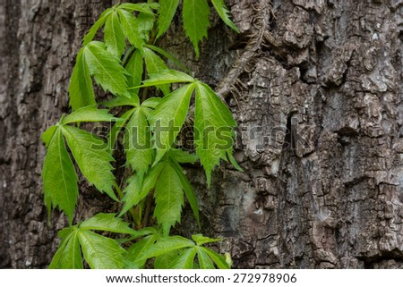 A Virginia Creeper vine on the trunk of a tree. - stock photo