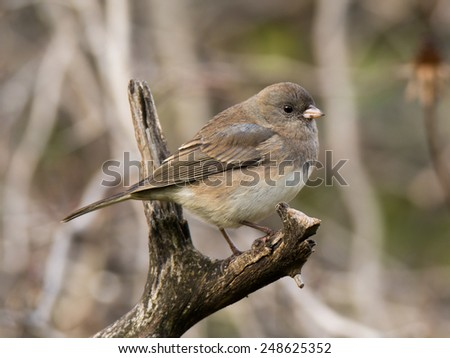 A visitor from the north, a Dark-eyed Junco, perches on a weathered stump while approaching a Wisconsin feeding station. - stock photo