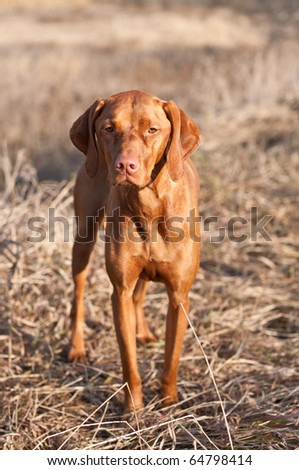 A Vizsla dog stands in a field on an autumn day. - stock photo
