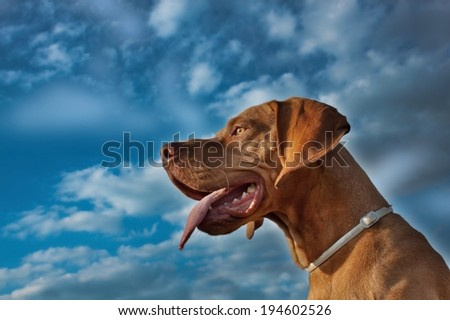 A vizsla dog sticks out its tongue, Hungarian Pointer, summer's day - stock photo