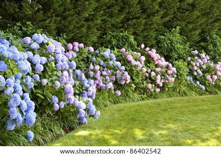 A wall of blooming hydrangeas, bordering a lush green yard in summer. - stock photo
