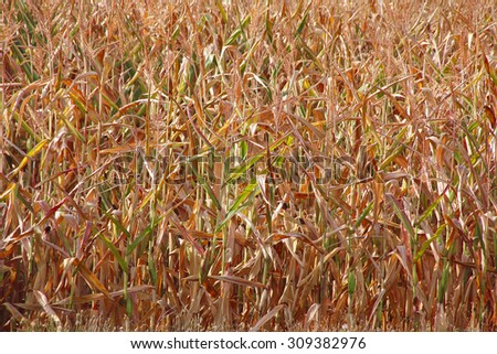 A wall of parched and dying corn found in a field in Western Washington State/Drought Stricken Corn/A wall of parched and dying corn found in a field in Western Washington State.  - stock photo