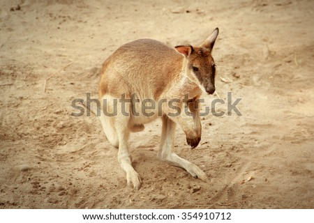 A wallaby in its desert habitat - stock photo