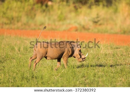 A warthog with its tail in the air - stock photo