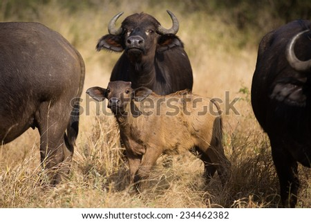 A wary buffalo, Syncerus caffer, and her calf amongst their herd, sniffing the air, in the Kruger National Park. - stock photo