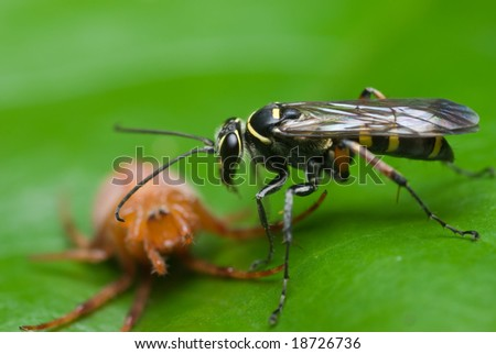 A wasp with prey - spider