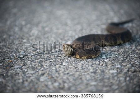A water moccasin sunning itself on a Florida roadway