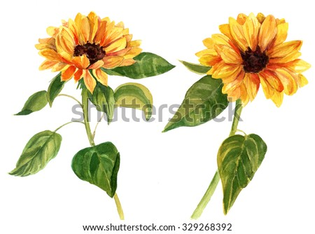 A watercolor drawing of two bright golden sunflowers with green leaves, on white background, vintage style botanical art - stock photo