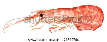 A watercolour shrimp on white background - stock photo