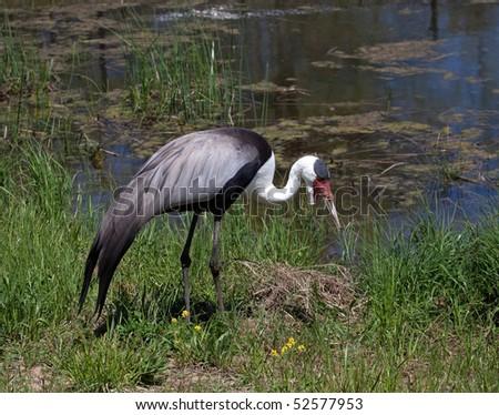 A Wattled Crane feeding in a marsh. - stock photo