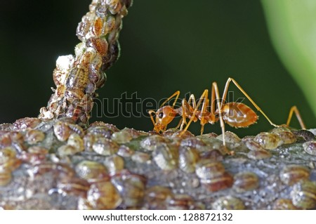 a weaver ant receive a food from group of scale insects - stock photo
