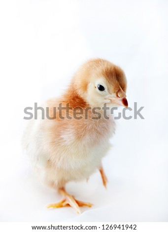 A week old baby chick (Rhode Island Red)