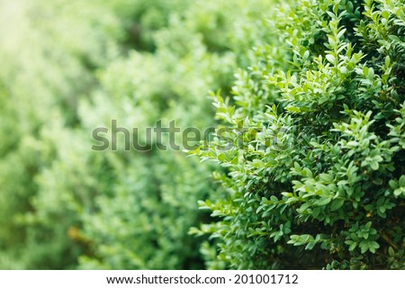 a well landscaped  hedge of bushes  boxwood, background - stock photo