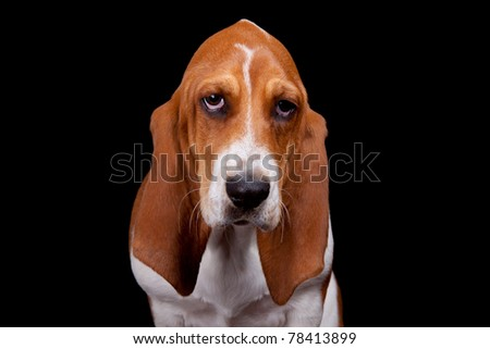 A well lit isolation of a sad Basset Hound on black.