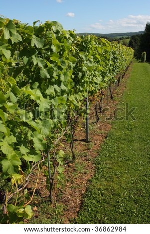A well tended vineyard - stock photo
