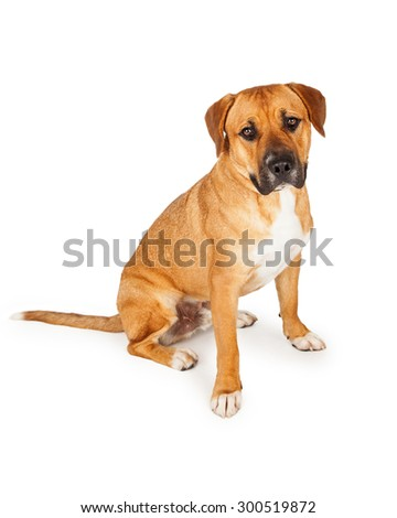 A well trained Mixed Large Breed Dog sitting at an angle while looking forward