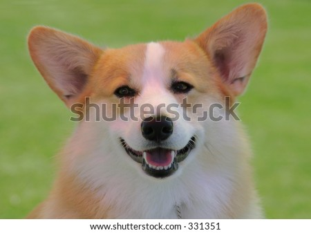 A Welsh corgi dog shows his bright white teeth when he smiles. - stock photo