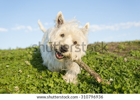 A west highland white terrier a very good looking dog - stock photo