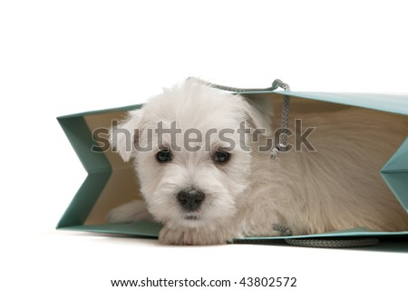 A west highland white terrier puppy is in a shopping bag
