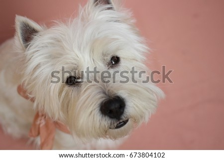 A West Highland White Terrier Westie dog with a sweet look displaying a love or valentine's day theme and a pink background