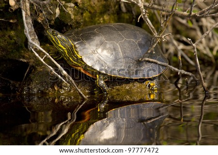 A western painted turtle, photographed from a kayak in the Boundary Waters of northern Minnesota. - stock photo