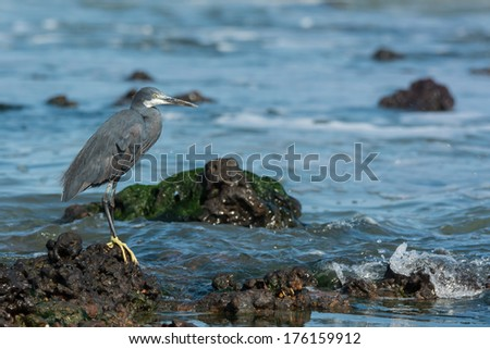 A Western Reef Heron (Egretta gularis) perched on a rock before the ocean - stock photo