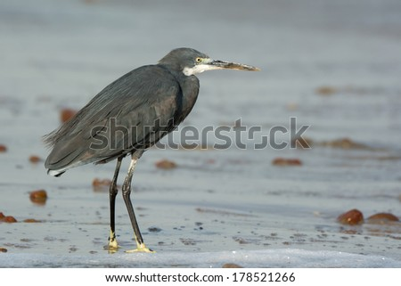 A Western Reef Heron (Egretta gularis) standing on wet sand at the beach - stock photo