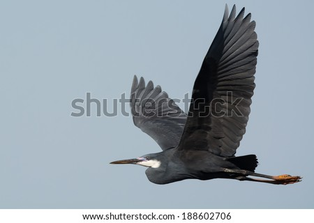 A Western Reef Heron (Egretta gularis) with its wings stretched in flight - stock photo