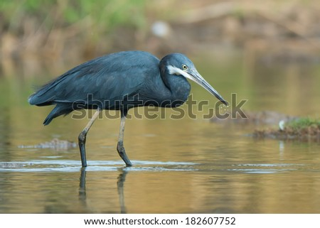 A Western Reef Heron (Egretta gularis) with water droplets dripping from its beak - stock photo