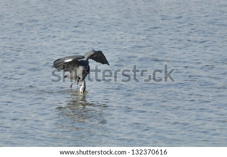 A western reef heron heron trying to take out fish from water