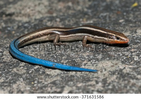 A western skink found in the Laguna Mountains of Southern California.  - stock photo