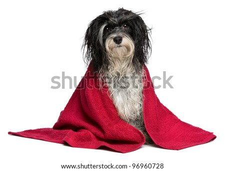 A wet black and white havanese dog after the bath with a red towel isolated on white background - stock photo