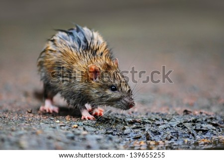 A wet rat on the ground after a rainy night.