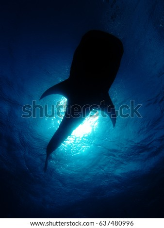 A whale shark silhouetted against the sea surface with the sun shining through