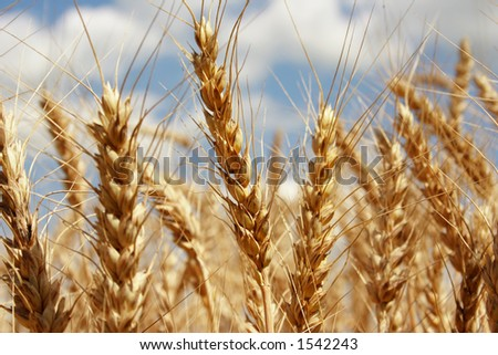 A wheat farm in Ohio - stock photo