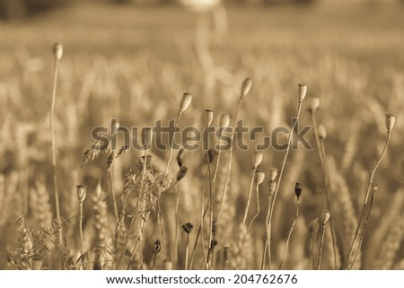 A wheat field, fresh crop of wheat. - stock photo