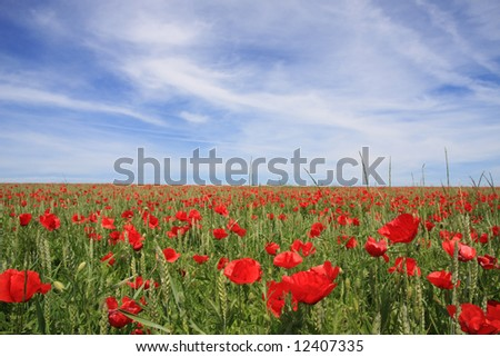 A wheat field with red poppies and a blue sky