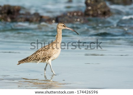 A Whimbrel (Numenius Phaeopus) wading through shallow water on the beach - stock photo
