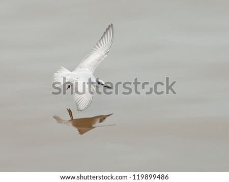 A whiskered tern swooping on the water, Thailand