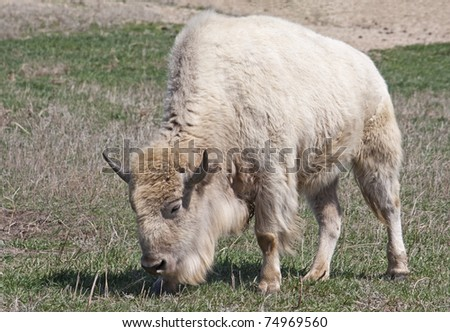 A white American Bison grazing in a field - stock photo