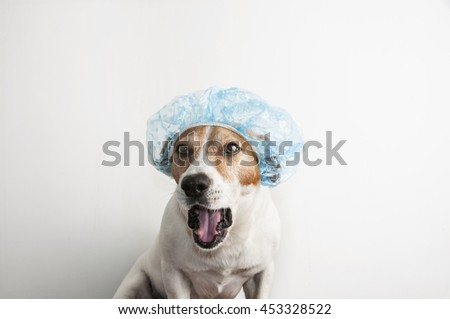 A white and brown Jack Russell Terrier puppy dog before bath is dressed with a  bathing cap isolated on white background - stock photo