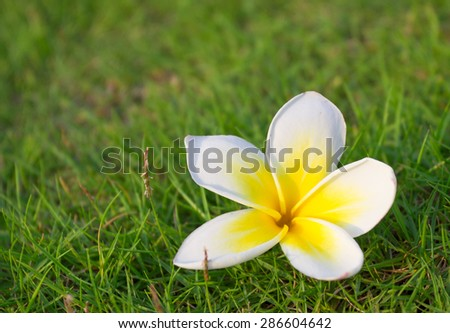 A white and yellow Plumeria spp landed on the grass