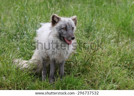 A white arctic fox during summer season