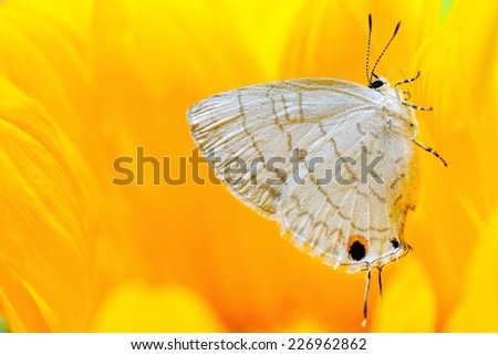 A white beautiful little butterfly on a large and bright yellow flowers, the background is a bright yellow - stock photo