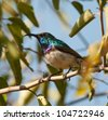 A White-bellied sunbird sitting on a branch amongst green leaves - stock photo