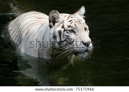 A white bengal tiger cools off by wading in the water - stock photo