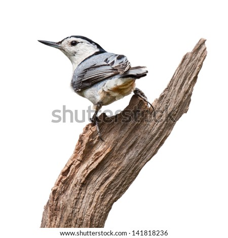 A white-breasted nuthatch turns his back while perched on driftwood. The multi colored blue wing feathers contrast prominently against its white breastplate and orange rump. White background. - stock photo