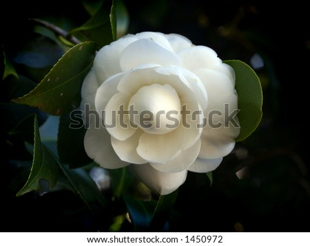 A white camelia flower - stock photo